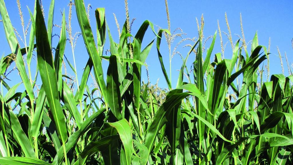 Last year's maize season saw difficult conditions.