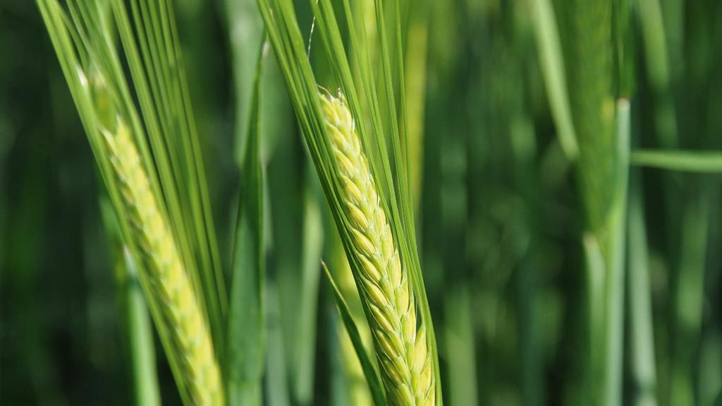 Finding a home for spring barley