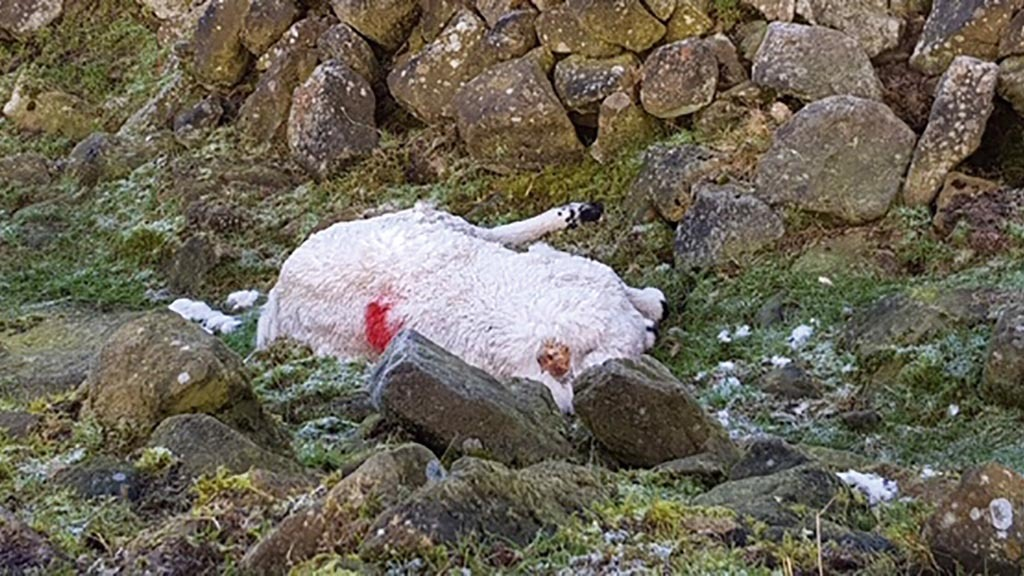Farmer horrified after thugs behead sheep and steal horns