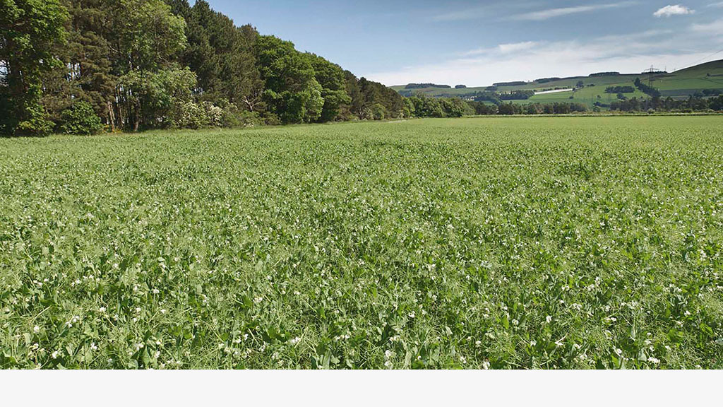 Grower gives his top tips on a successful pea crop