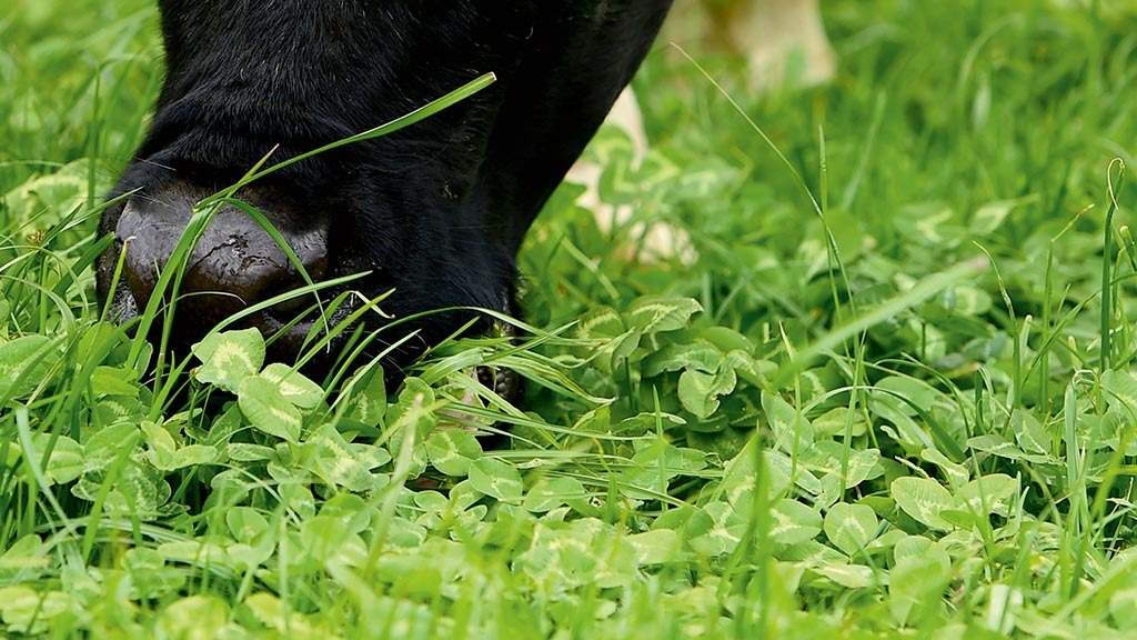 Grazing white clover swards creates the potential to improve milk solids