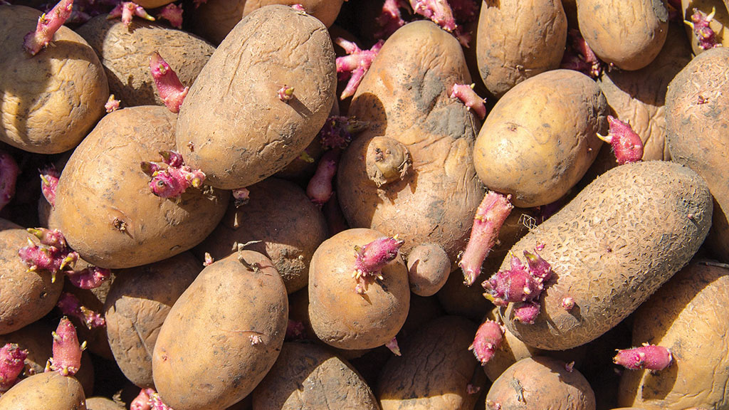EU digs in on seed potato ban leaving whole sector in limbo