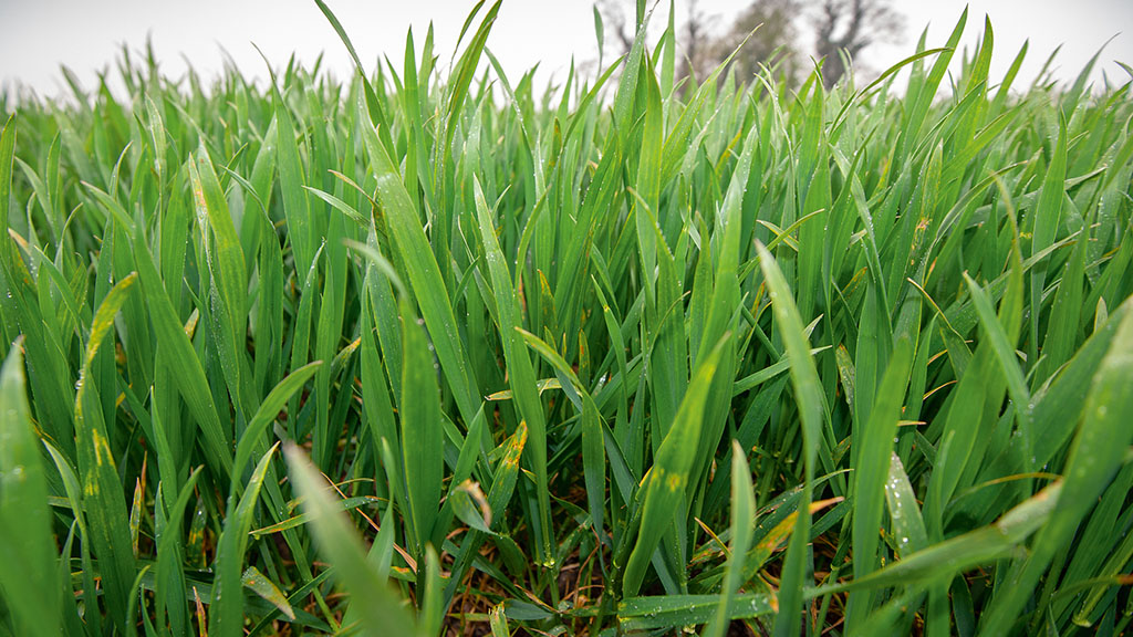 Seeking a solution for rat's-tail fescue