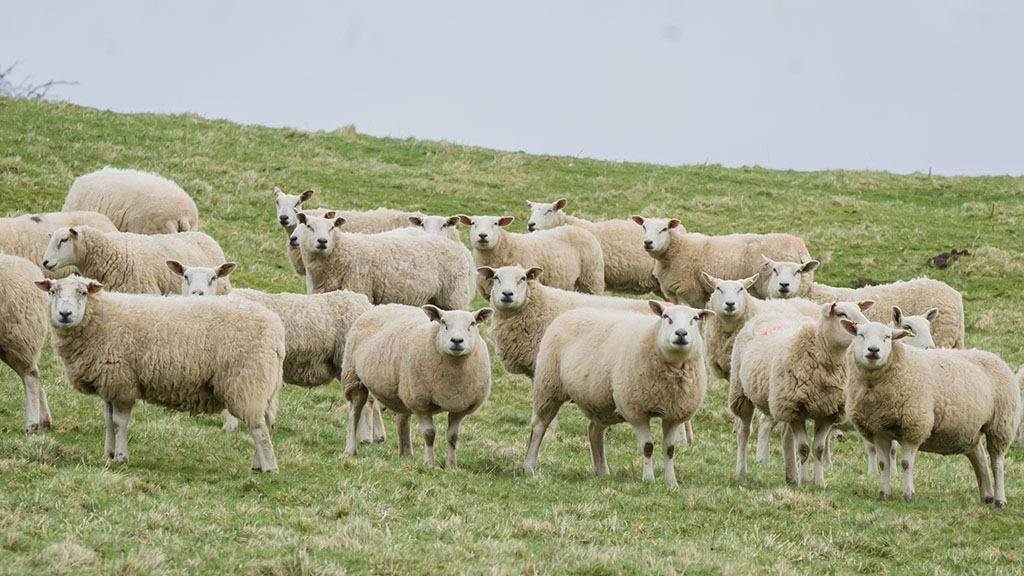Aberfields were introduced to the Texel cross Lleyn ewes to improve grass usage