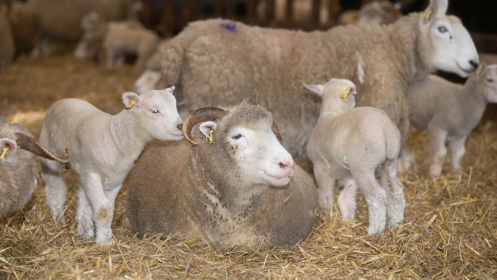 Sheep special: Traditional breeds thrive on South West Pennines