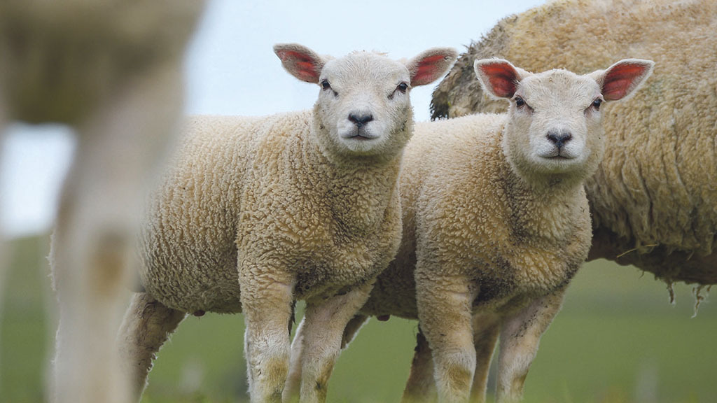 Farmer flabbergasted as lamb spontaneously stolen from roadside field