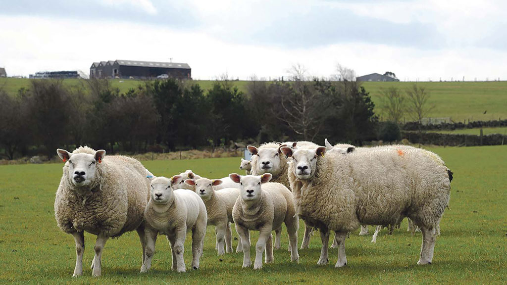 Sheep market cools but prices up on 2019