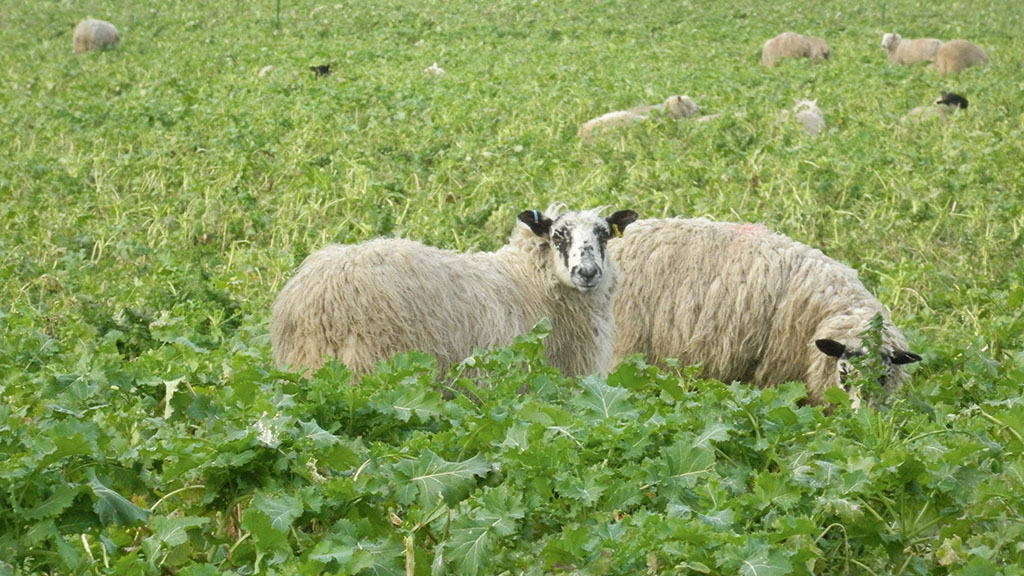 Sheep special: Fodder crop menu for finishing lambs