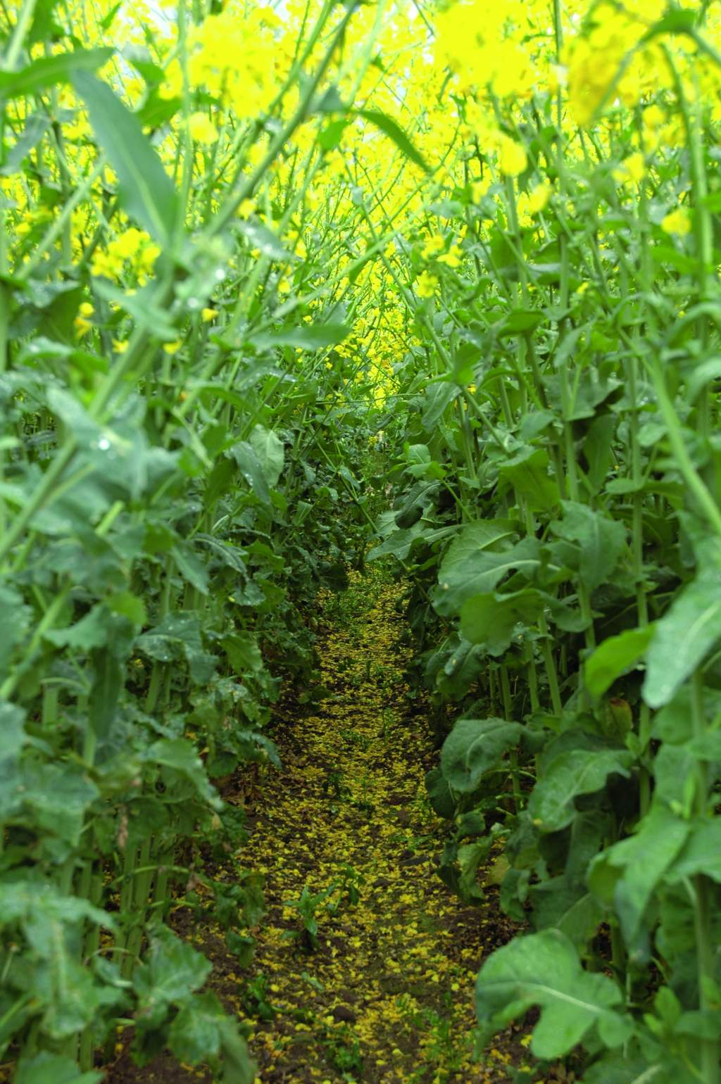 Sclerotinia protection at petal fall helps retain light capturing green leaf area for longer.
