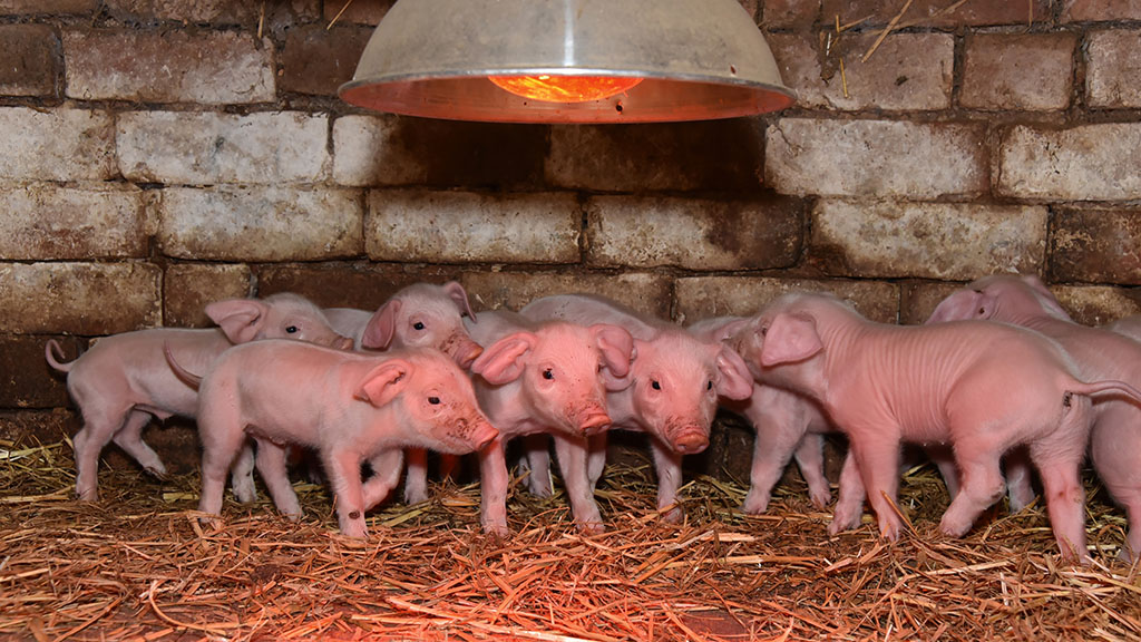 Three-day-old Welsh piglets.