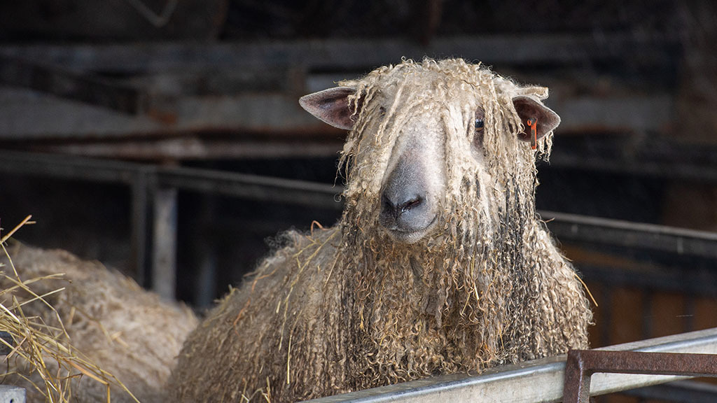 Adrian keeps some pure-bred Wensleydales to show.