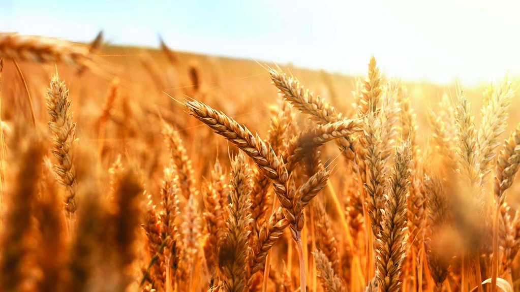 Grain market settles but bullish tone remains