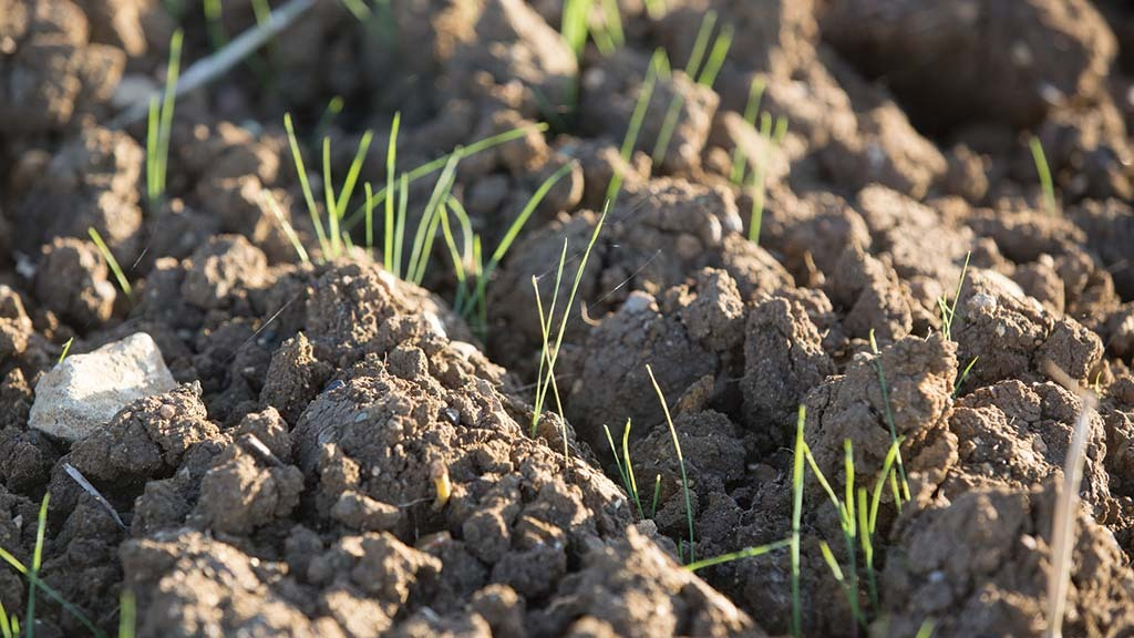 Still 'plenty of time' to drill as first black-grass flush emerges