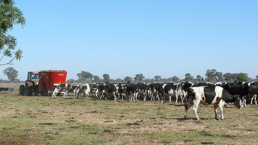 In severe drought the cows are fed outdoors with the diet feeder.