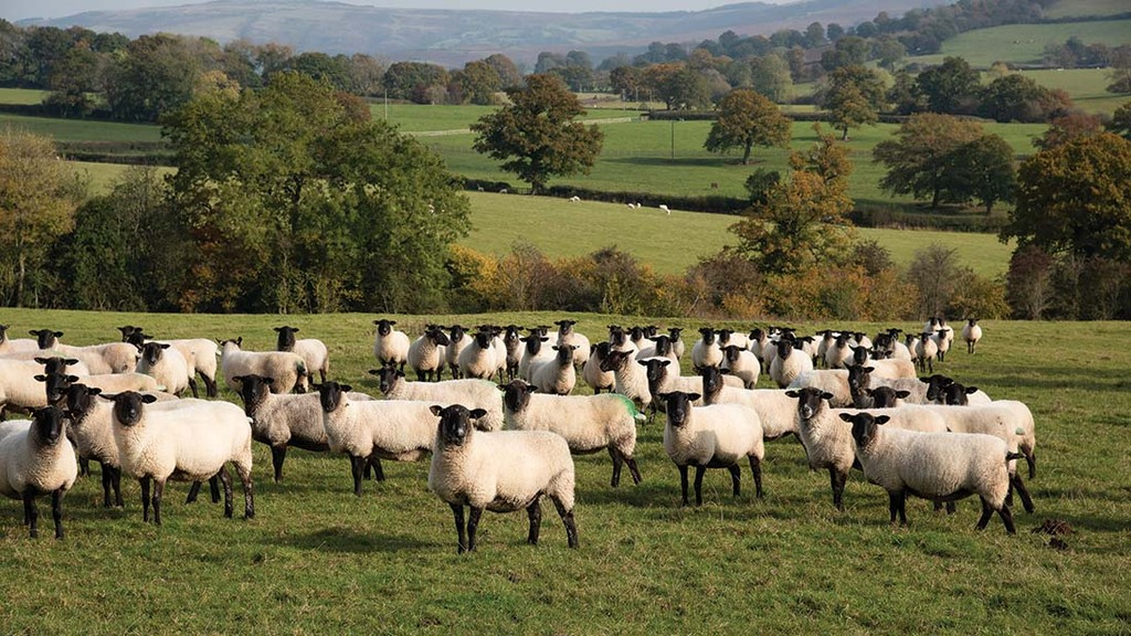 Ewes are culled on prolapses, mastitis and problems at lambing.