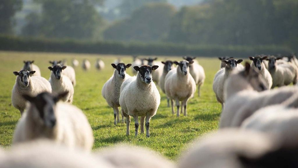 The farm is home to an 800-strong flock of Suffolk crosses and North of England Mules.