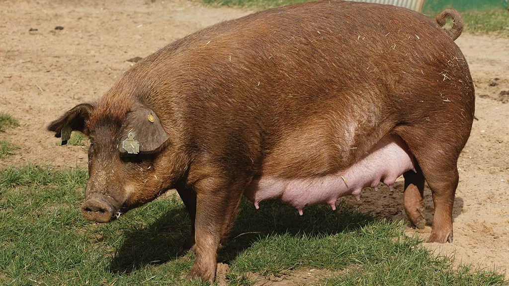 Duroc sows produce future breeding stock.