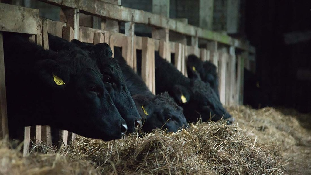 Cattle are fed silage, hay and straw, alongside some grain and vegetables