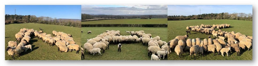 Farmers herd sheep to spell out 'NHS' in tribute to frontline health workers