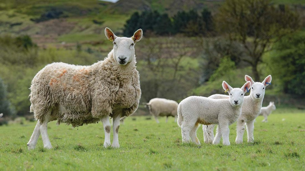 Rural groups warn farmers to be 'vigilant' as lockdown sparks alarming rise in sheep rustling