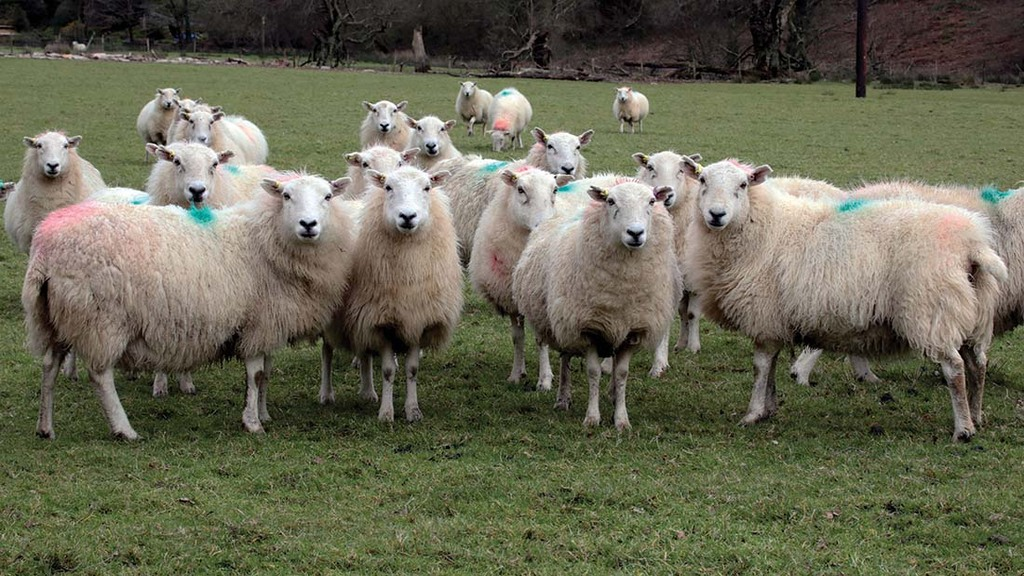 Welsh Mountain ewes bearing twin lambs in fields near the grounds of the ancient abbey.