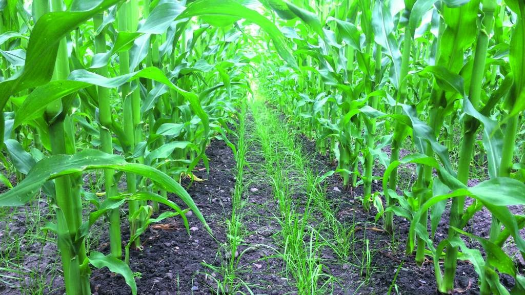 Grass establishing well after sowing at six-leaf stage of maize