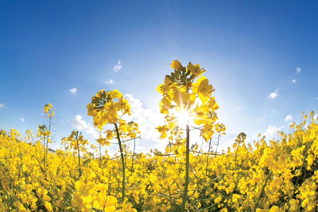 What a short flowering period might mean for oilseed rape yields