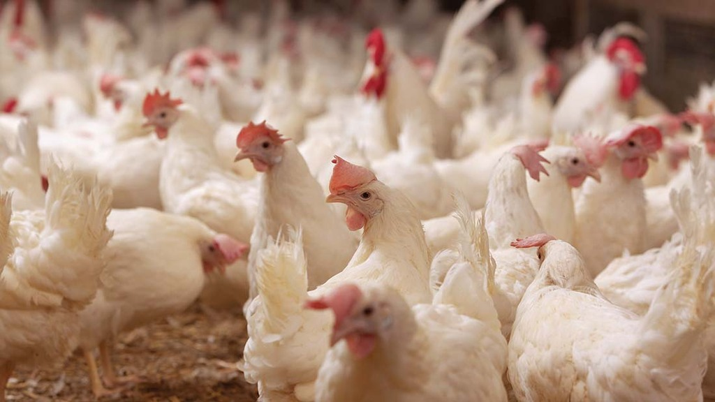 KFC UK & Ireland launches first annual chicken welfare progress report