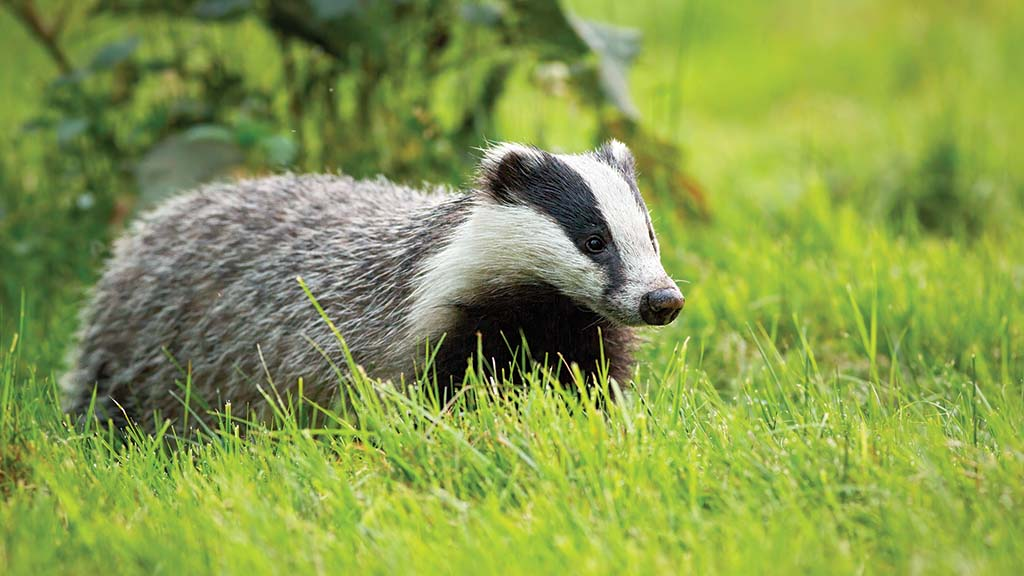 Government consults on plans to phase out English badger culls