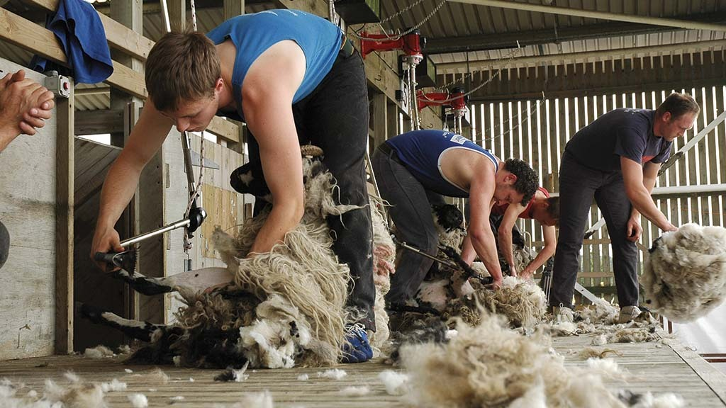 Industry delivers new shearing checklist in response to Covid-19