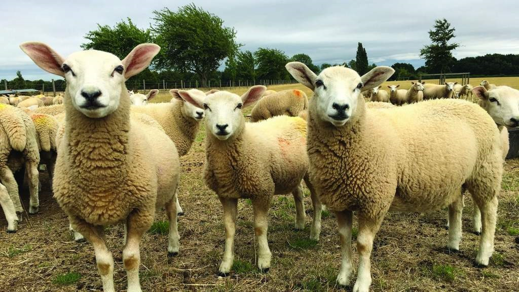 Wormer resistance threatens future of sheep farming