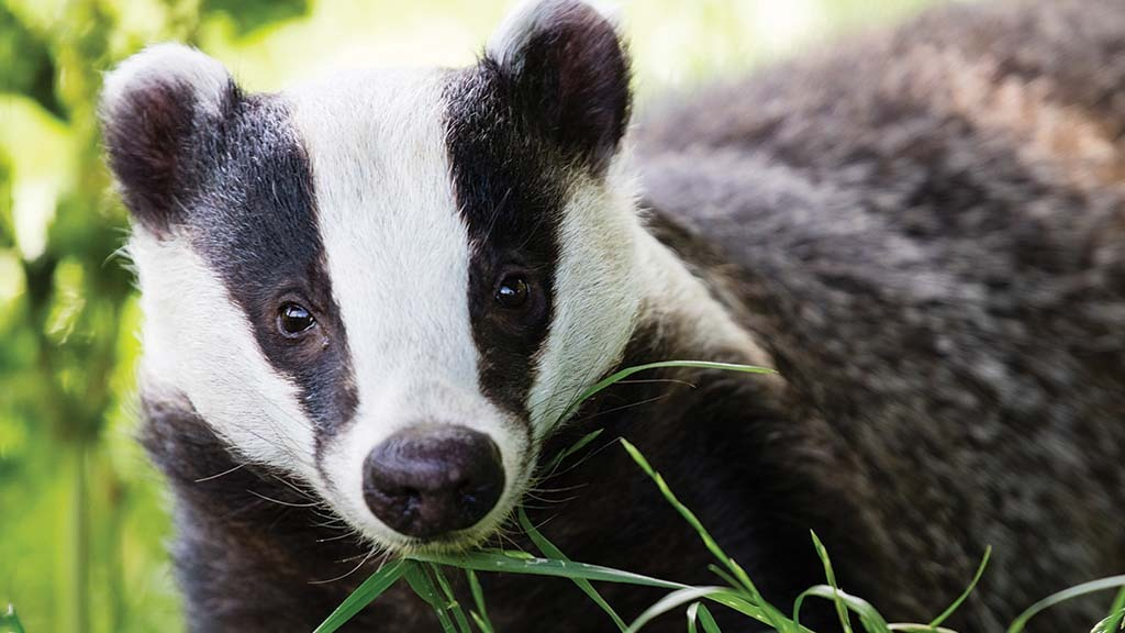 Confidential badger cull map accidentally shared by Derbyshire MPs