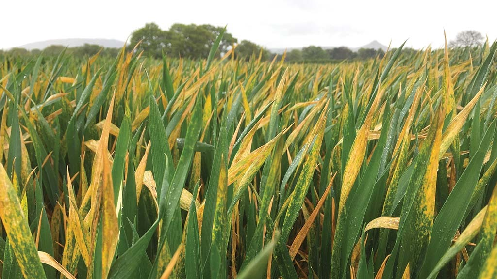 Frost impact on yellow rust infection