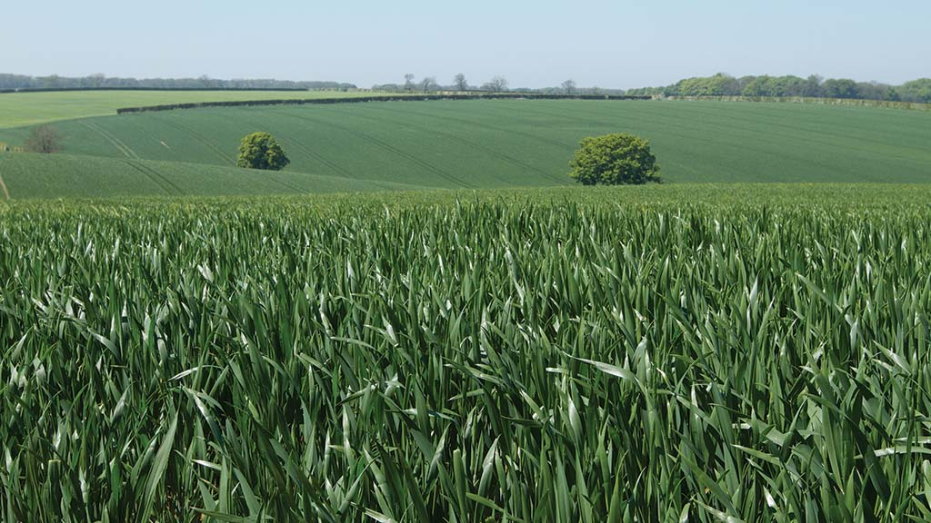 Top tips for maximising wheat yields with micronutrients