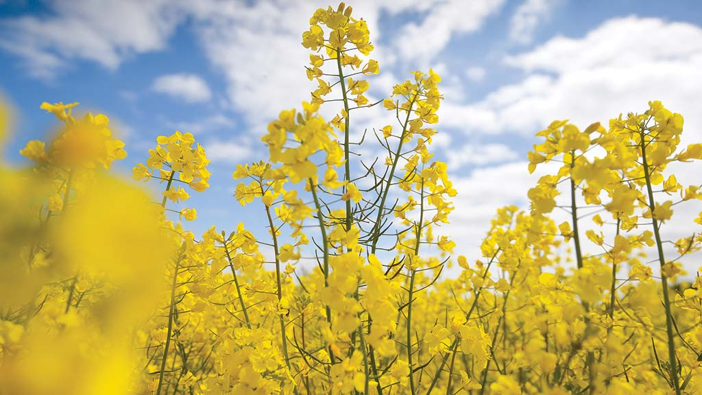 Hybrids dominate 2021/22 AHDB oilseed rape Recommended List