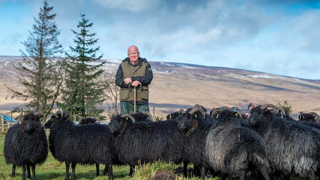 Backbone of Britain: A lifetime's worth of work with Hebridean sheep