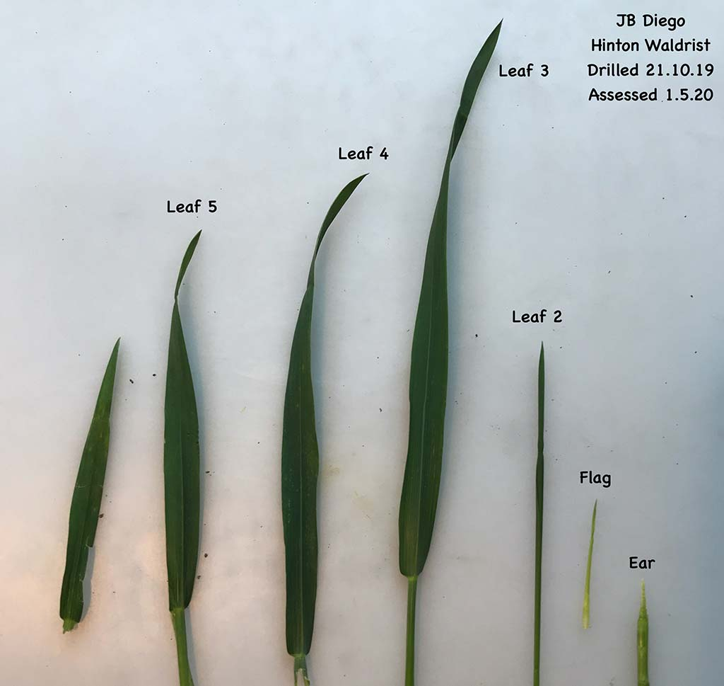 Plot Prospects 4: Fast developing wheat varieties reach flag leaf emergence