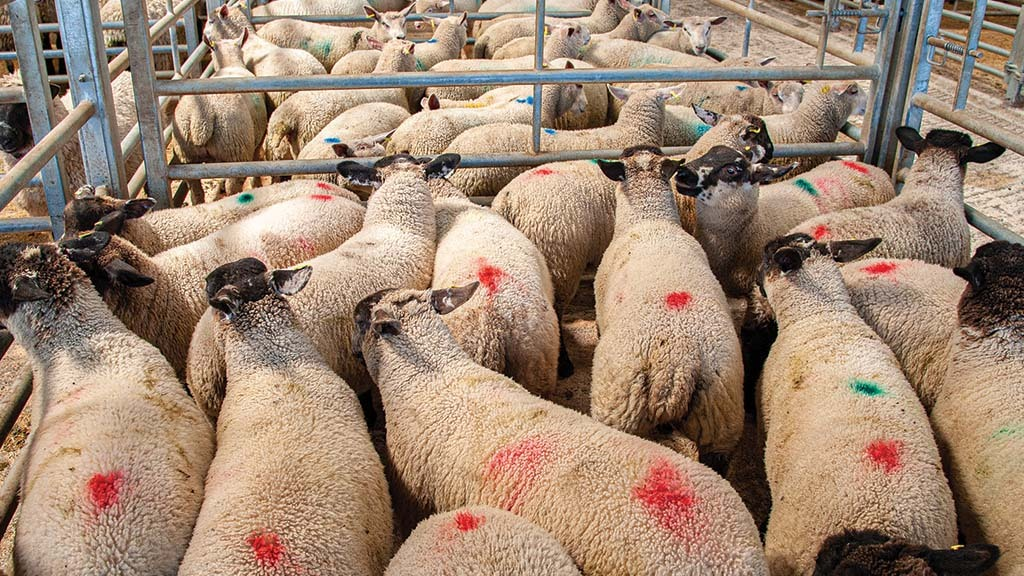 Lamb trade holds up as numbers fall after auctioneers' warnings