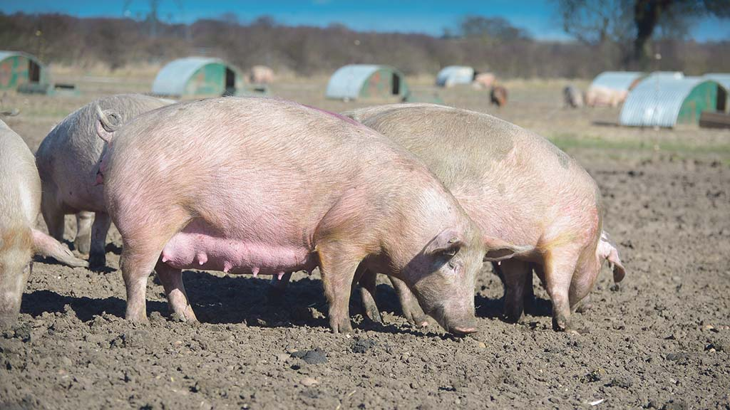 How to combat heat stress in pigs