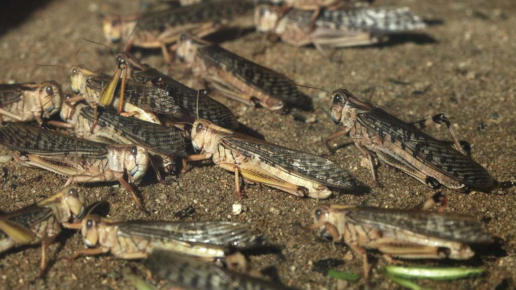 Locust plague wreaks havoc on key agricultural regions