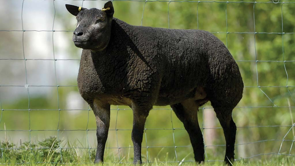 Online timed sheep auction tops at £5,400 for Blue Texels