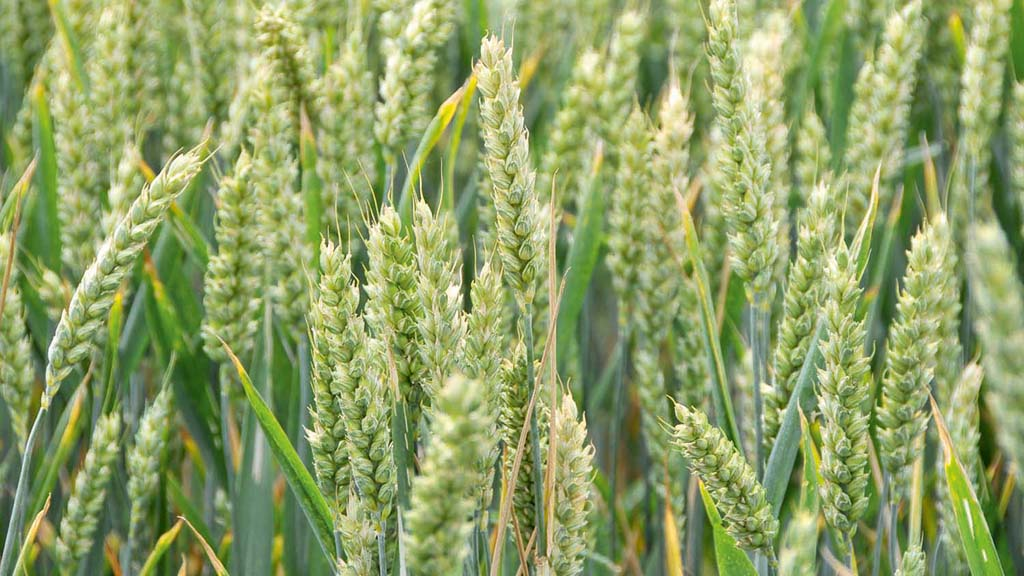 Cereals Live: Variety mixtures to tackle resistance