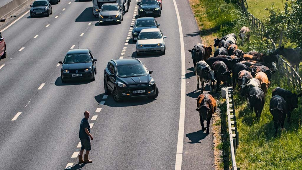 Cows herded to safety after escaping onto M25