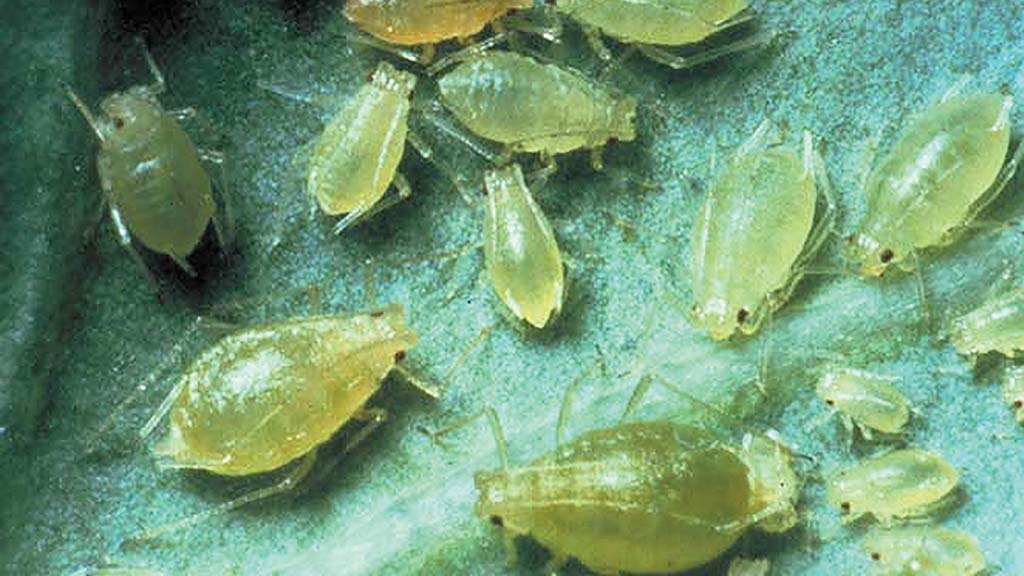 Unprecedented levels of aphids threaten beet crops