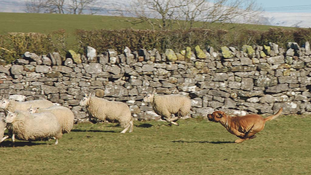 Ninety five per cent of sheep farmers have experienced dog attacks, survey reveals