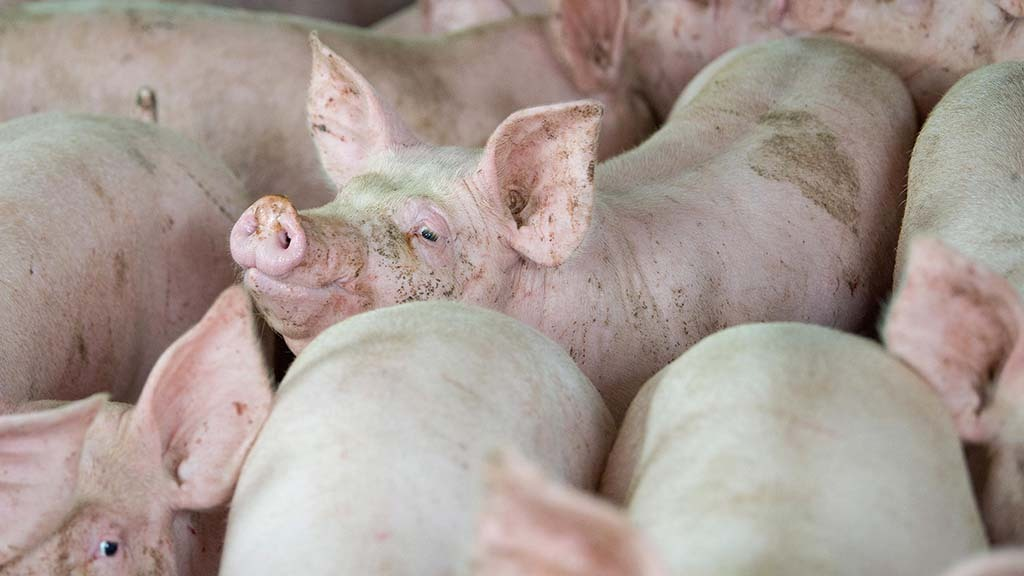 Chinese import demand helps pig prices hold firm