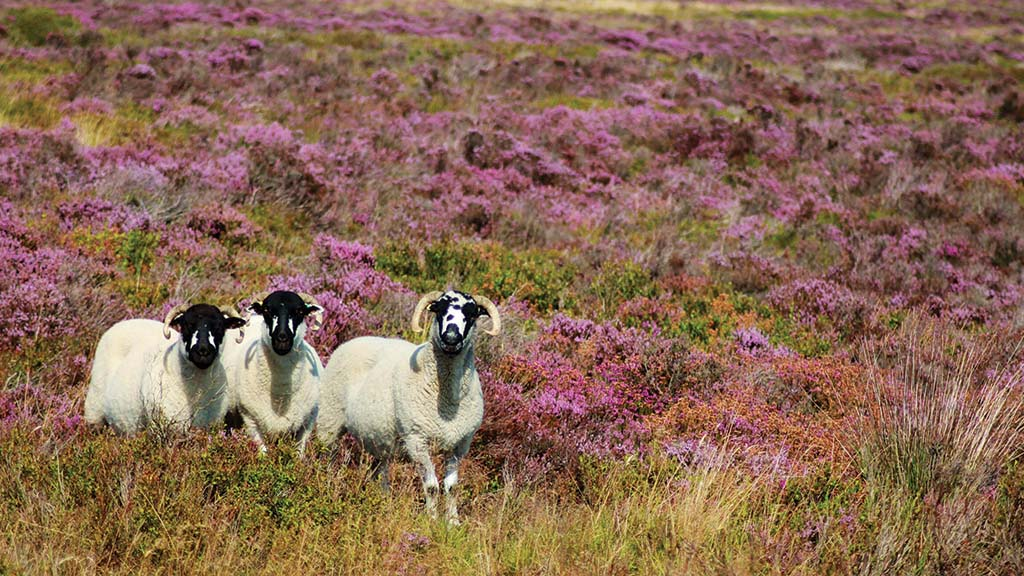 Heather and fungi a viable alternative to anthelmintics?