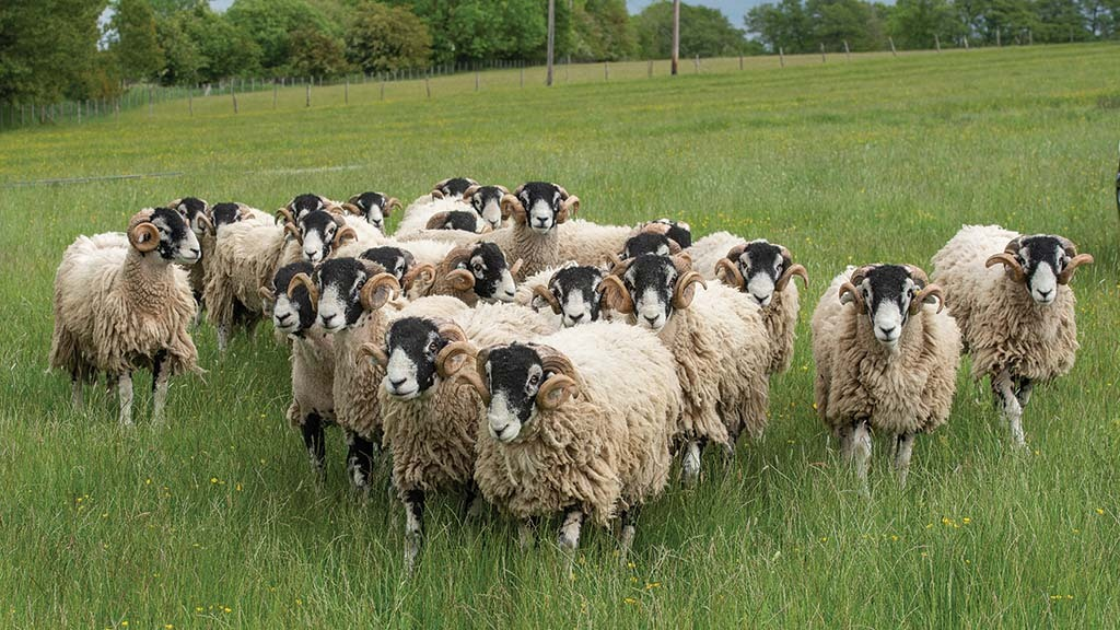 Swaledale tup hoggs for the October sales.