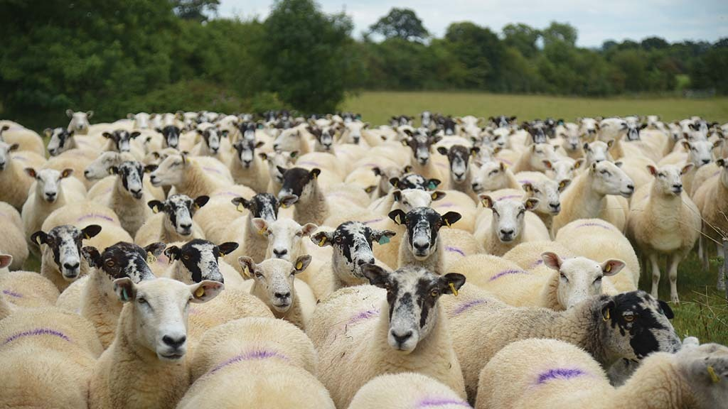 SHEEP SPECIAL: Test and vaccinate for enzootic abortion