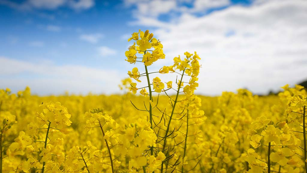 OSR plantings fall to lowest in over 30 years